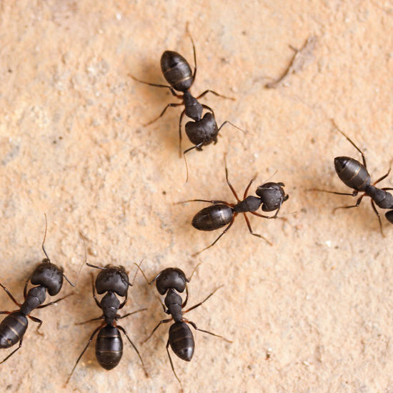 Carpenter Ant Control in Jefferson County | Midwestern