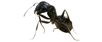 slide carpenter ants